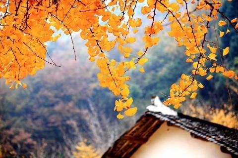 初冬里的银杏树