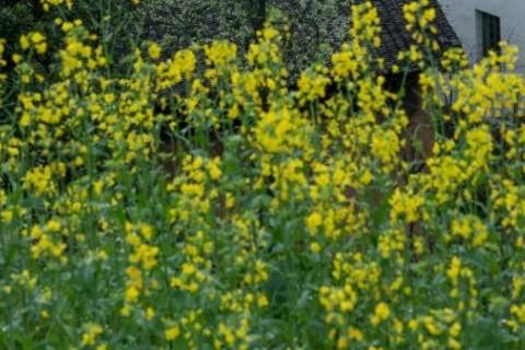 春天到啦,是时候去看油菜花的心情说说